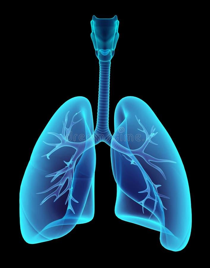 3D例证X-射线透明肺 库存例证
