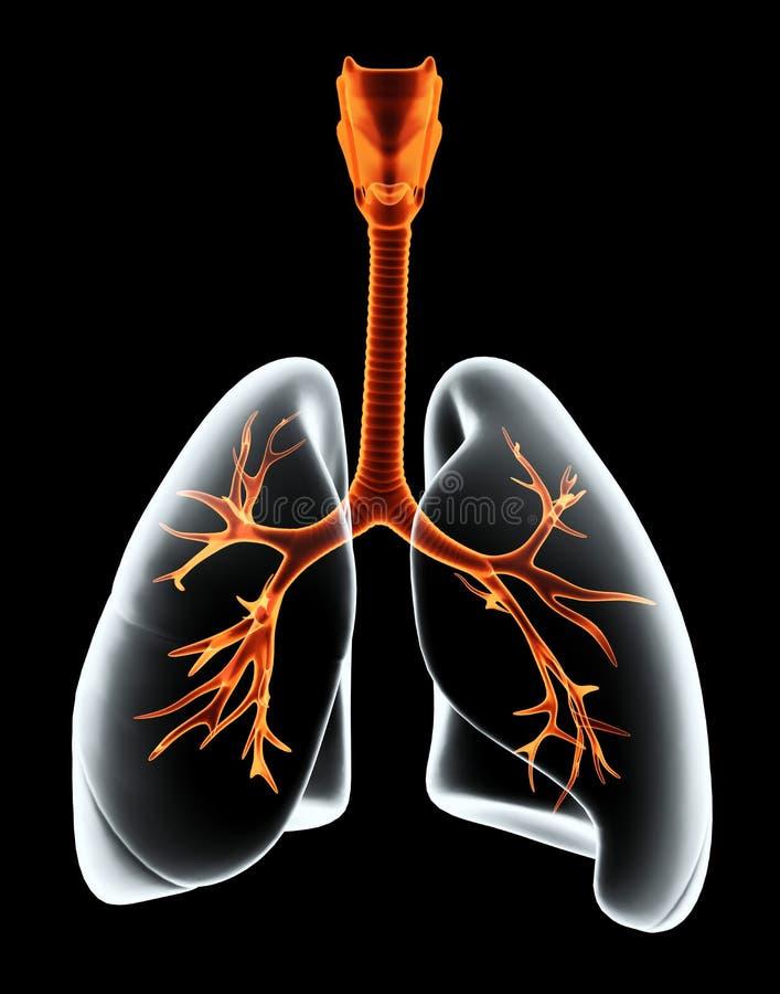 3D例证X-射线透明肺 向量例证
