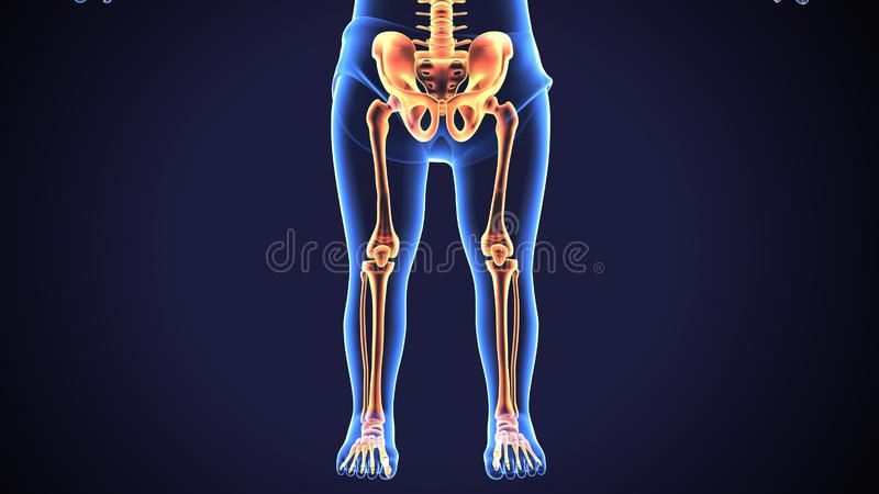 3d回报人的最基本的更低的腿痛解剖学 向量例证