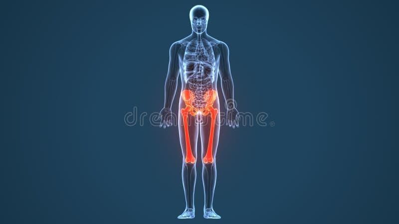 3d回报人的最基本的更低的腿痛解剖学 皇族释放例证