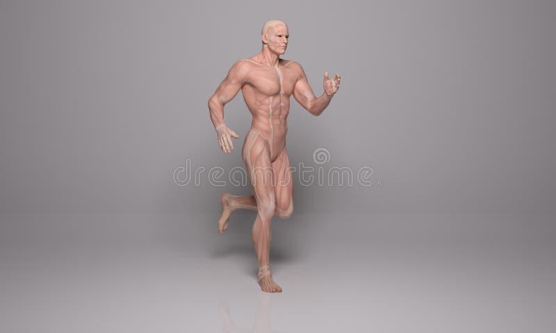 3D回报:一个连续人的例证有肌肉组织的 向量例证