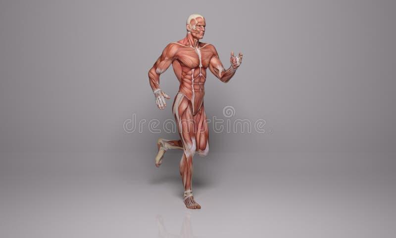 3D回报:一个连续人的例证有肌肉组织的 皇族释放例证