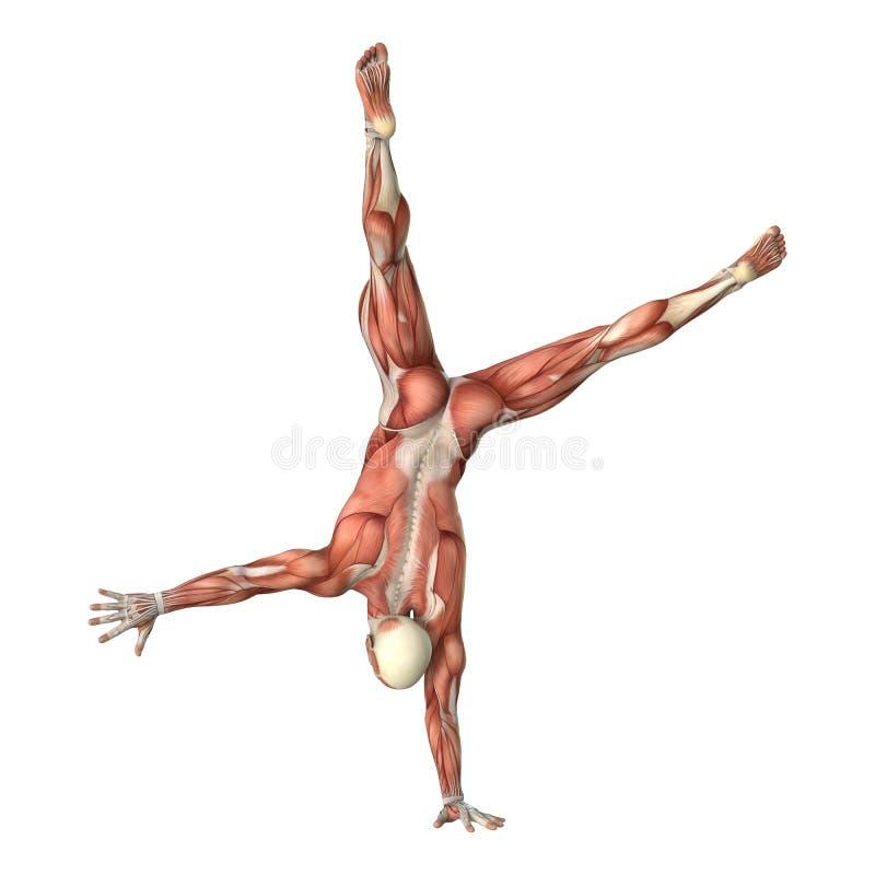 3D在白色的翻译男性解剖学形象 库存例证