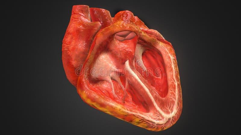 3d在黑色隔绝的人的心脏解剖学的例证 向量例证