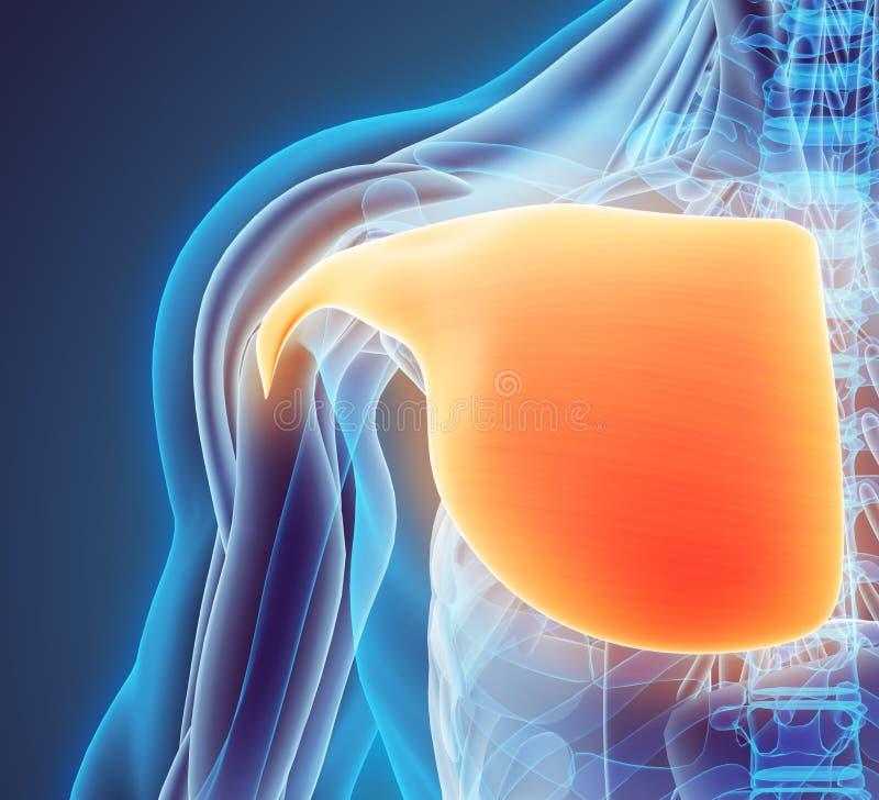 3D大胸肌的例证 向量例证