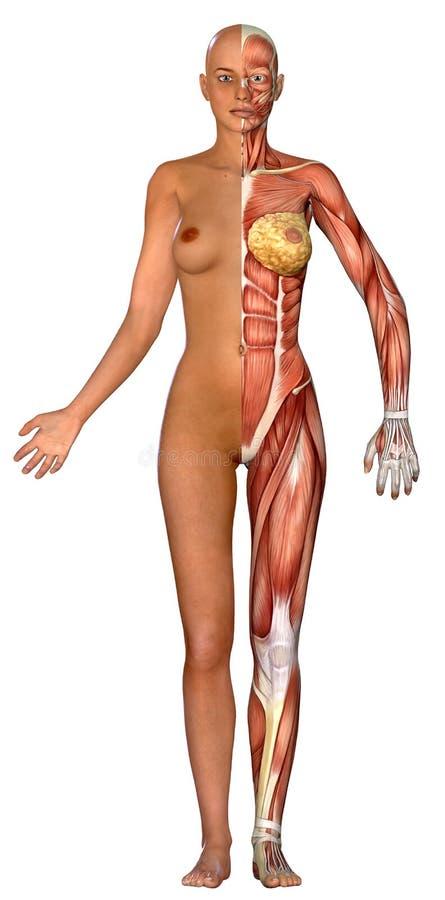 3D女性医疗图 库存例证