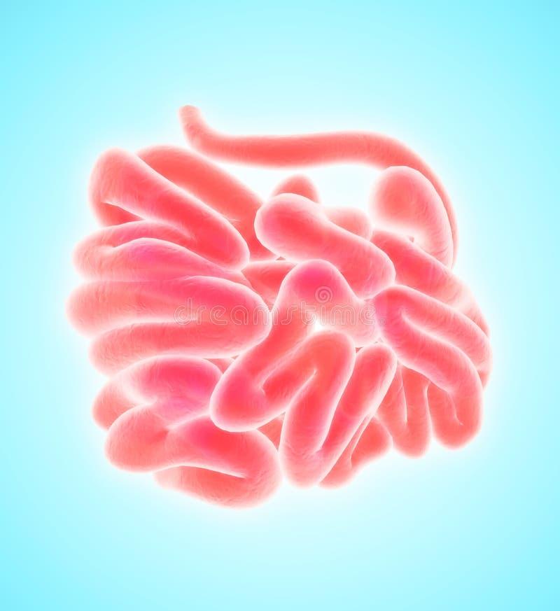 3D小肠的例证 向量例证