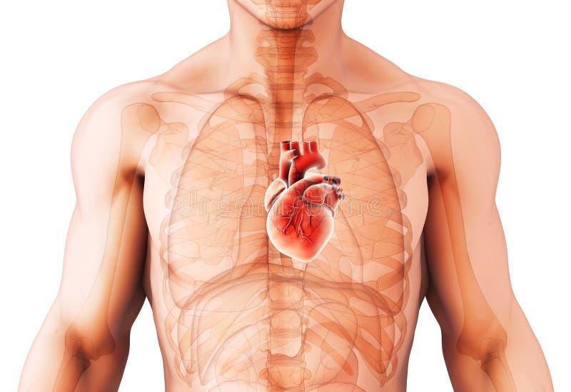 3D心脏,医疗概念的例证 皇族释放例证