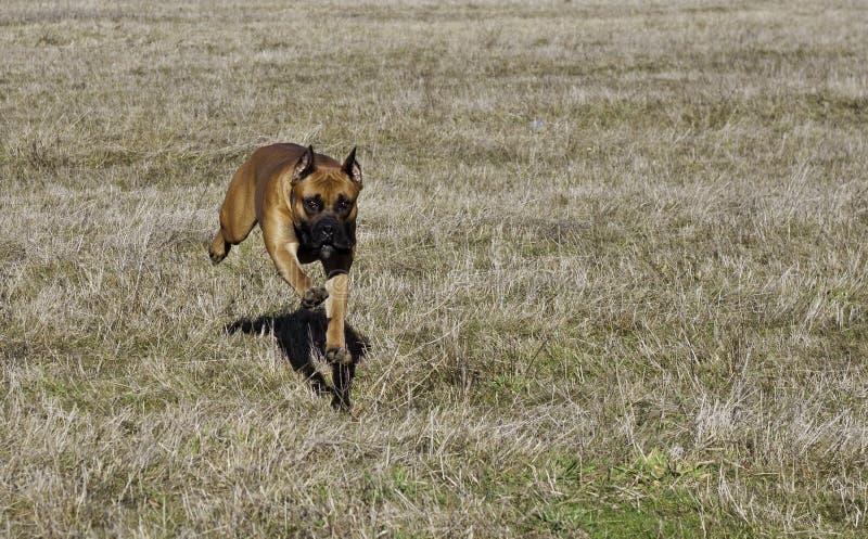 3d拳击手剪报在路径翻译影子白色的狗德语 免版税库存图片