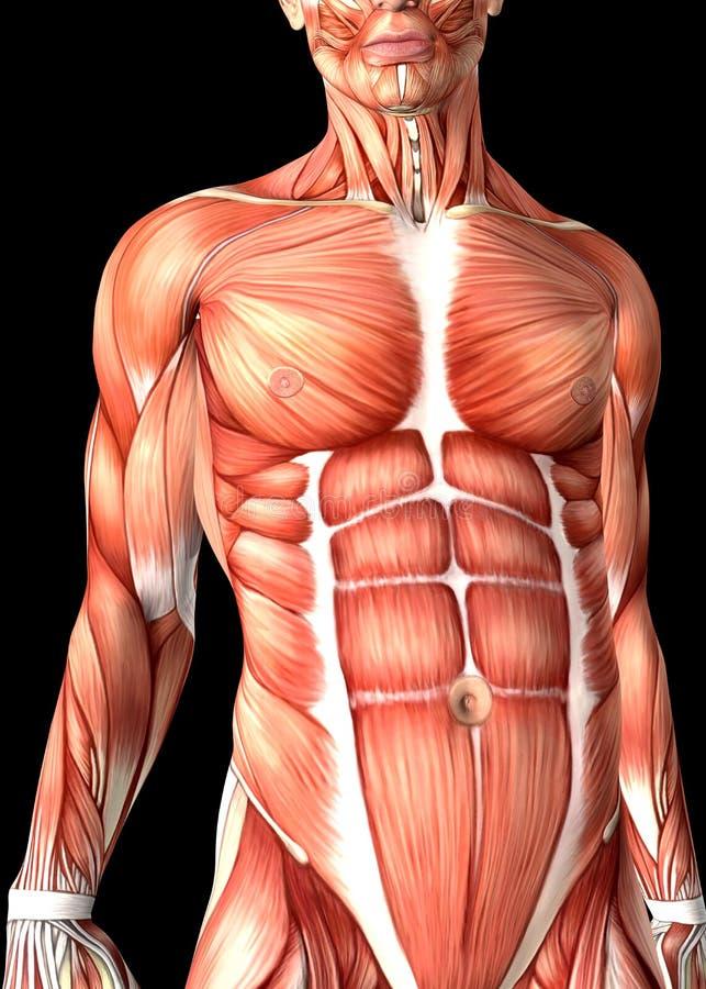 3d显示躯干的男性医疗图 库存例证