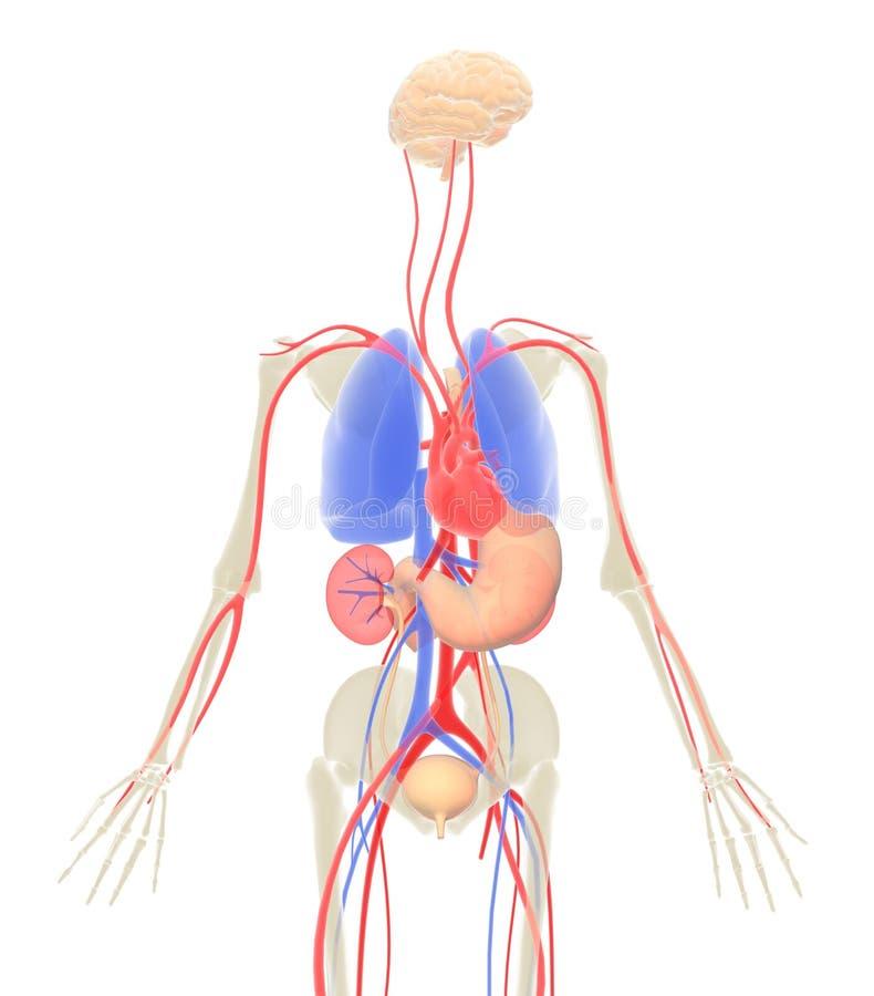 3D没有皮肤的人体内脏的例证 库存例证