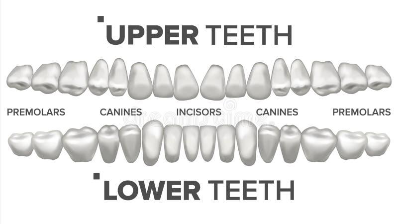 3D牙被设置的传染媒介 人的上部和更低的牙 牙齿健康 口腔医学牙科 3D清洗白色牙模型 向量例证