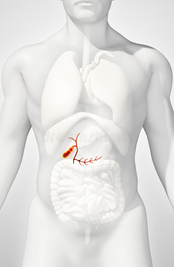 3D男性胆囊的例证 库存例证