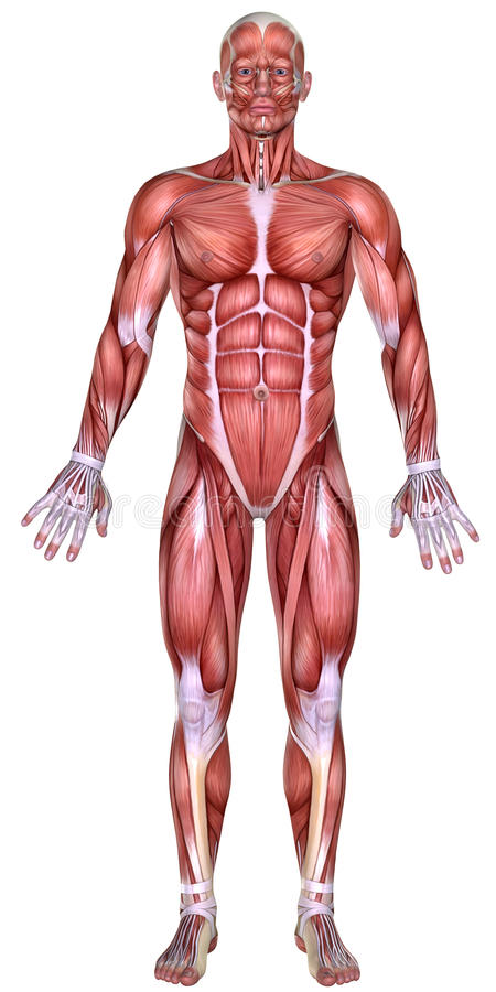 3d男性身体解剖学 库存例证