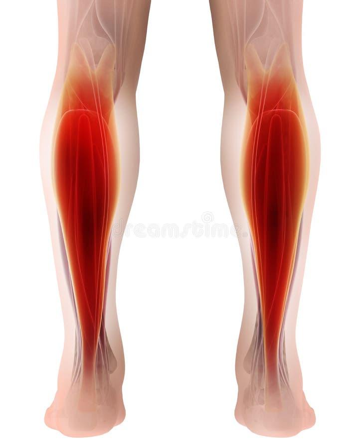 3D腓肠肌,一部分的例证的腿干涉解剖学 库存例证