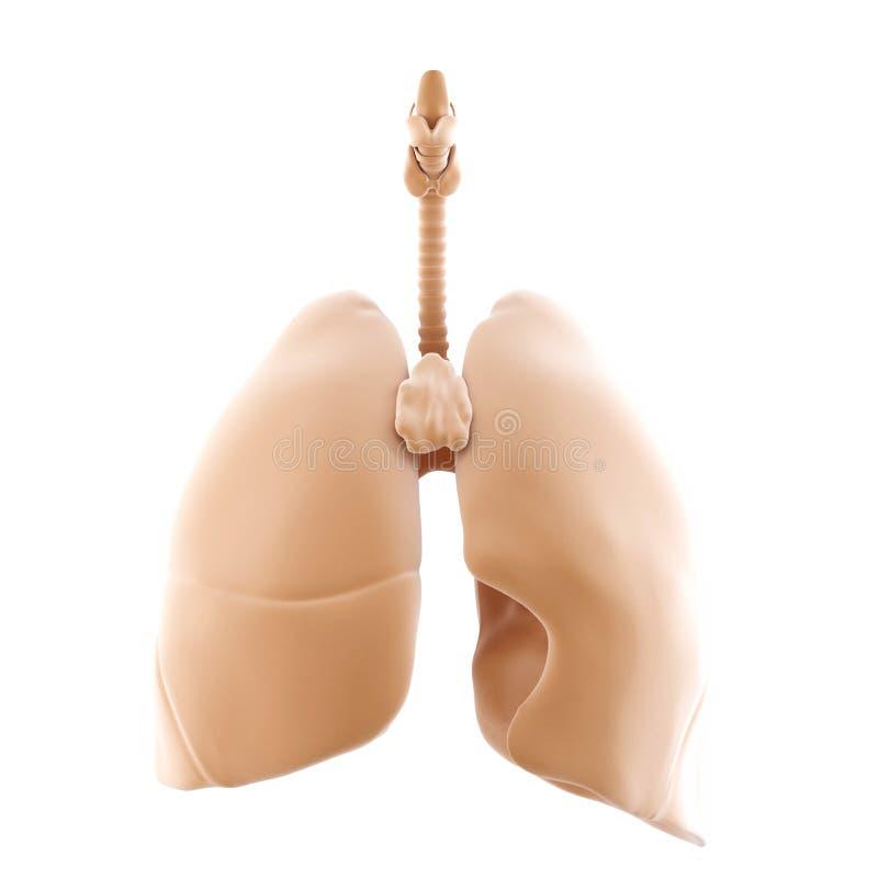 3d被回报人的肺 查出 包含裁减路线 向量例证
