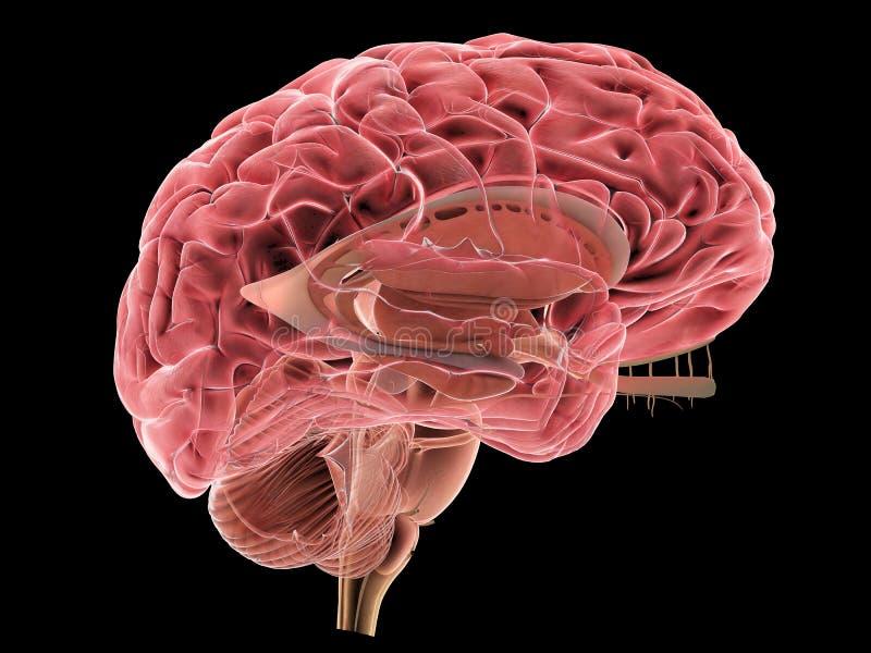 3d被回报的脑子人力例证医疗 皇族释放例证