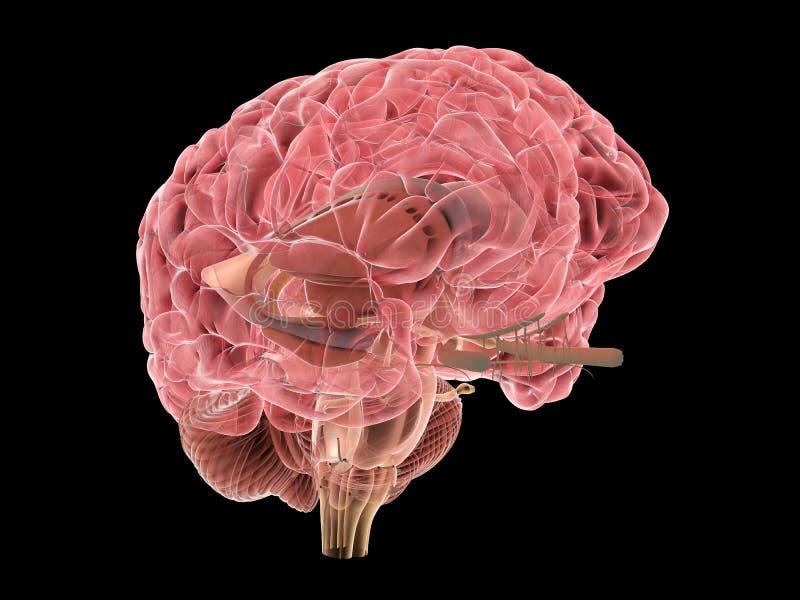 3d被回报的脑子人力例证医疗 向量例证