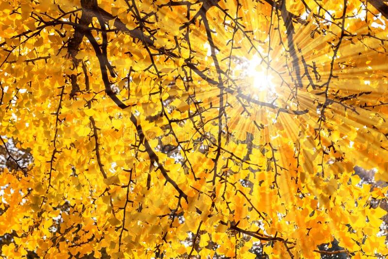3d银杏树高例证解决方法结构树白色 库存照片