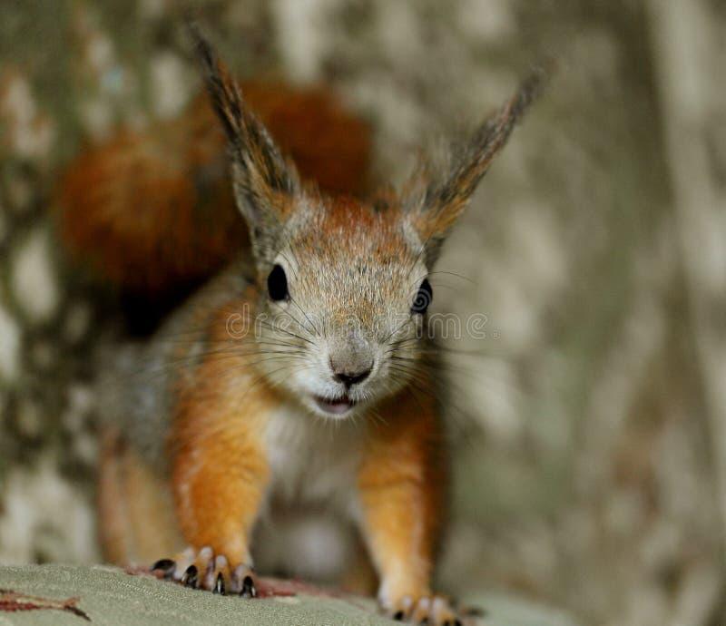D'écureuil d'animal familier portrait à l'intérieur image stock