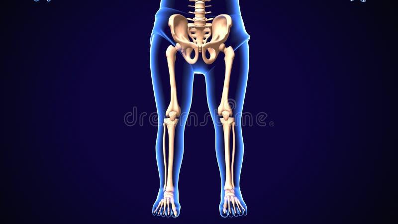 3d übertragen von der menschlichen skeleton unter Teil-Schmerzanatomie stock abbildung