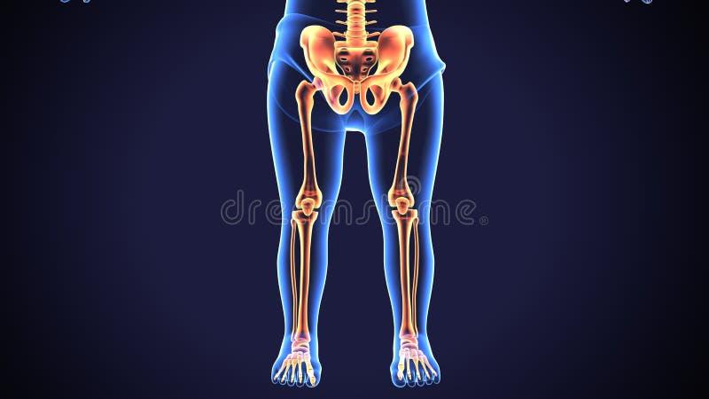 3d übertragen von der menschlichen skeleton unter Teil-Schmerzanatomie vektor abbildung