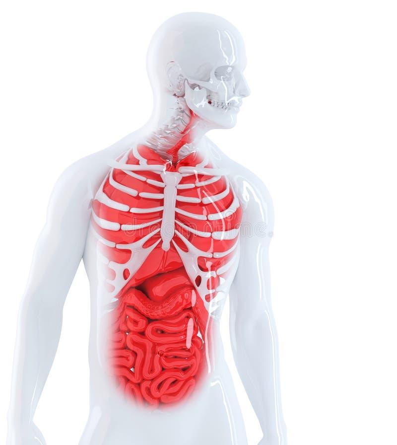 3d übertragen Von Einer Menschlichen Anatomie Getrennt Enthält ...