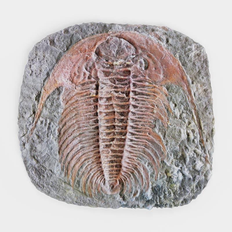 3D übertragen von Trilobite-Fossil lizenzfreie abbildung
