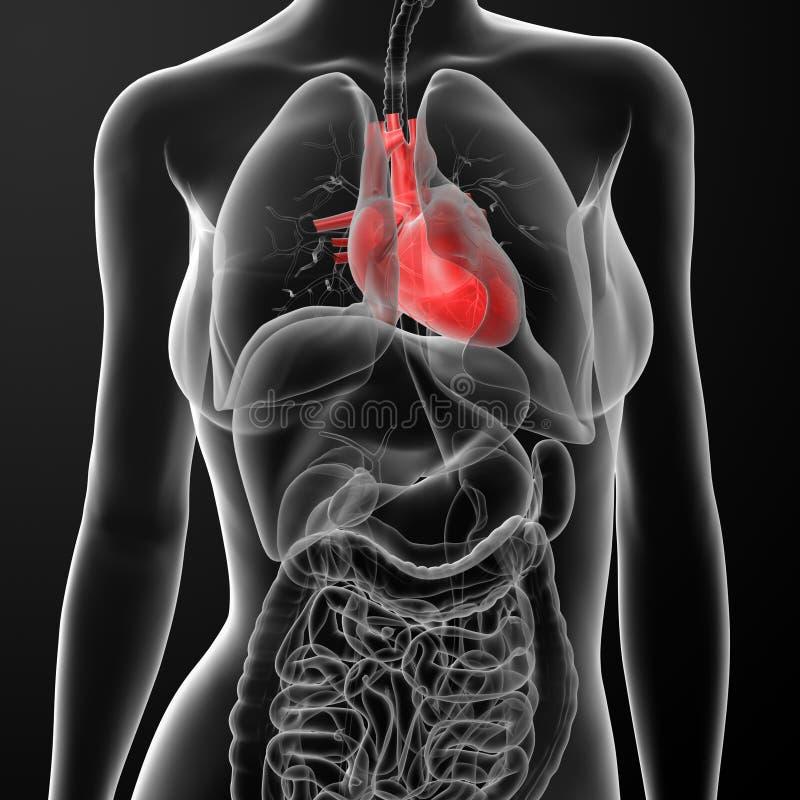 3d übertragen Weibliche Anatomie - Herz Stock Abbildung ...