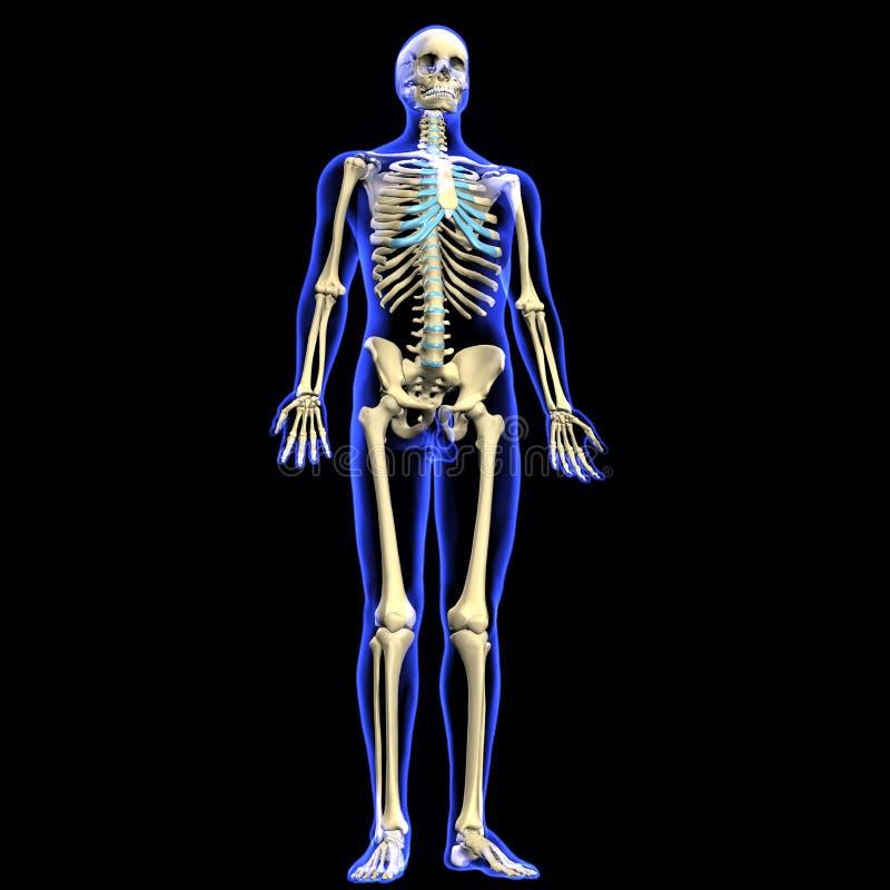 3d übertrug Illustration eines menschlichen Skeletts lizenzfreie abbildung