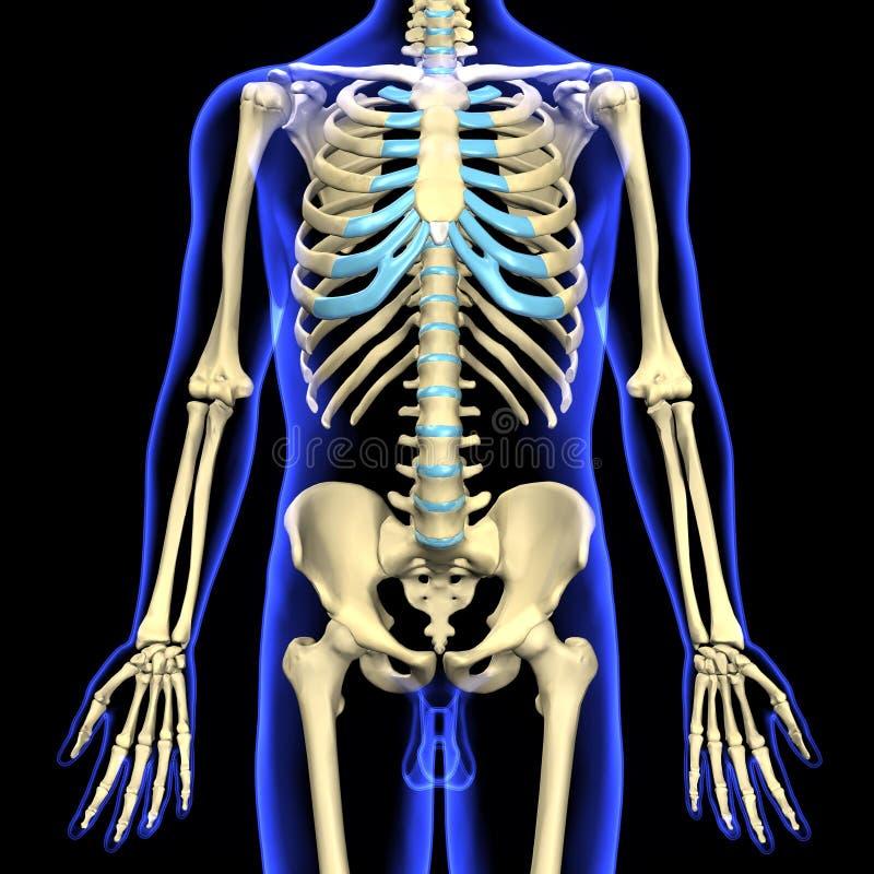 3d übertrug Illustration Eines Menschlichen Skeletts Stock Abbildung ...