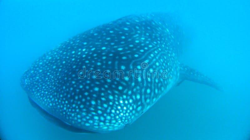 3d ścinek nad ścieżką odpłaca się cienia rekinu wielorybi biel fotografia royalty free