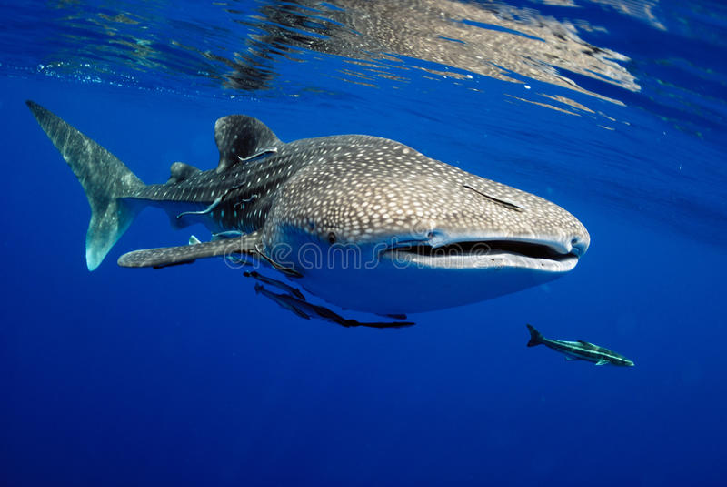 3d ścinek nad ścieżką odpłaca się cienia rekinu wielorybi biel obraz royalty free