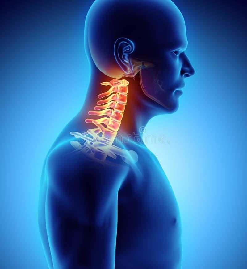 3D иллюстрация цервикального позвоночника, медицинская концепция бесплатная иллюстрация