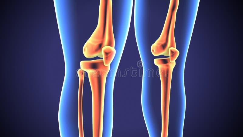 3d представило иллюстрацию анатомии человеческого соединения колена бесплатная иллюстрация