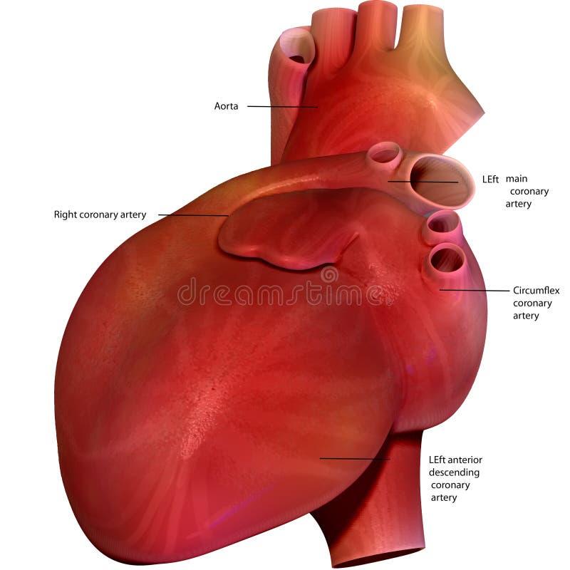 3d представило иллюстрацию - человеческую анатомию сердца бесплатная иллюстрация