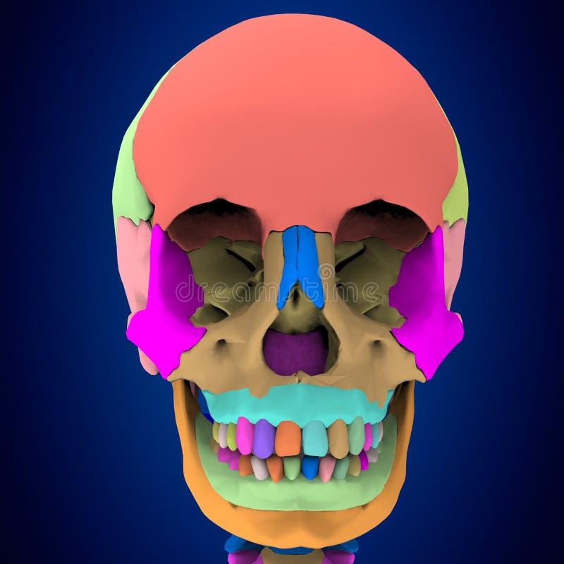 3d представило иллюстрацию - человеческую анатомию черепа иллюстрация вектора