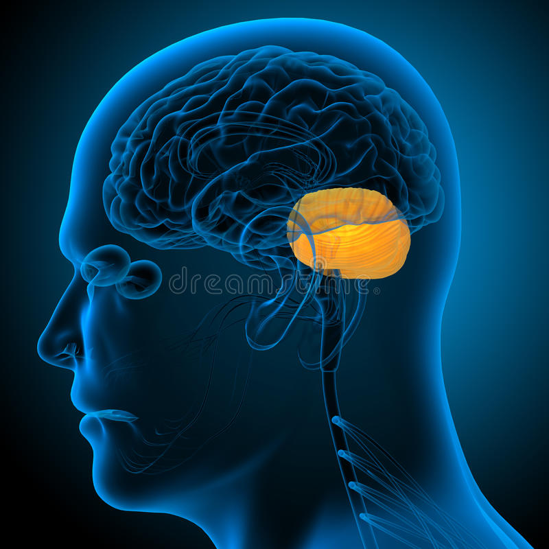 3d представляют медицинскую иллюстрацию cerebrum человеческого мозга бесплатная иллюстрация