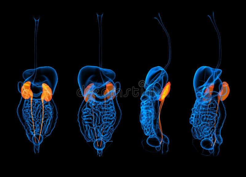 3d представляя человеческую почку пищеварительной системы стоковые изображения rf