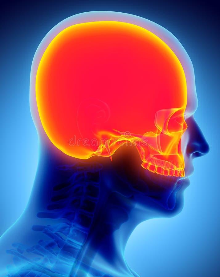 3D头盖骨的例证,医疗概念 皇族释放例证