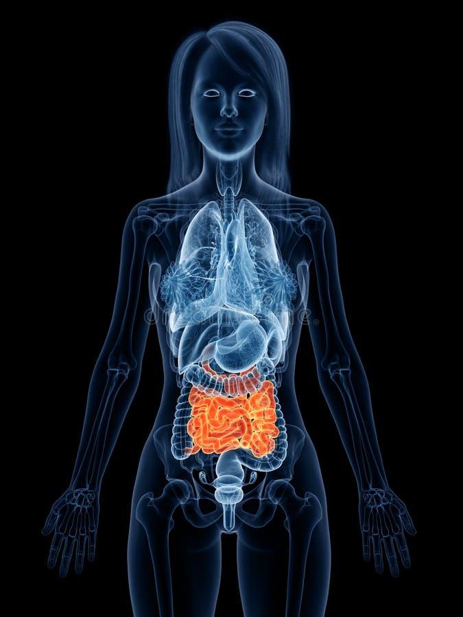 妇女小肠 向量例证