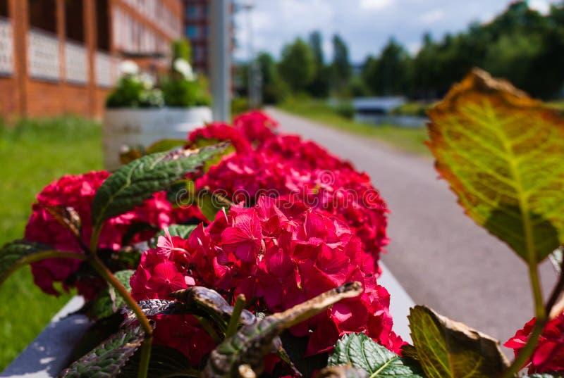D'abord floraison des fleurs pendant l'?t? image libre de droits