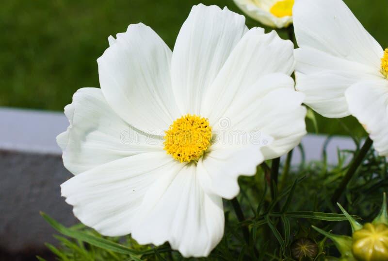 D'abord floraison des fleurs pendant l'?t? photographie stock libre de droits