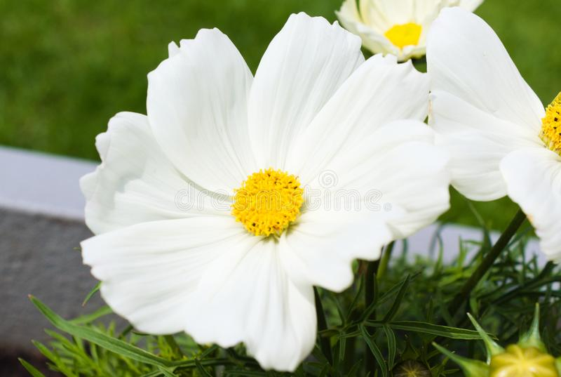 D'abord floraison des fleurs pendant l'?t? photos libres de droits