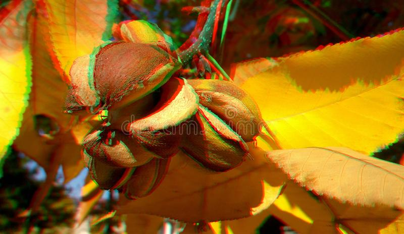 3D anaglyph hickory nuts. Nice autumn background. Yellow hickory leaves. 3D anaglyph, hickory nuts. Autumn background. Traditional england food. Traditional stock photo