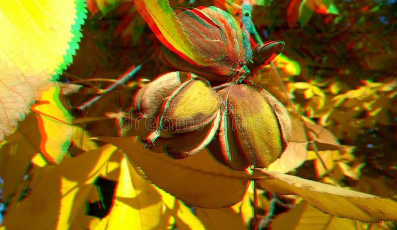 3D anaglyph hickory nuts. Nice autumn background. Yellow hickory leaves. 3D anaglyph, hickory nuts. Autumn background. Traditional england food. Traditional royalty free stock photo