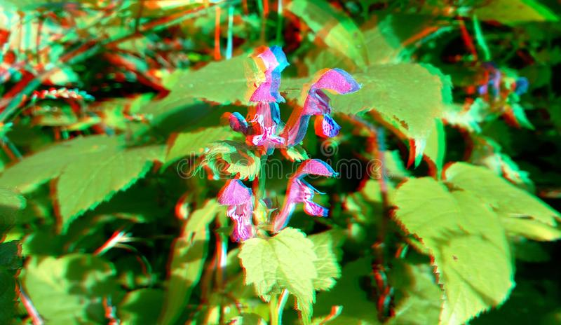 3D, anaglyph. Lamium amplexicaule, commonly known as henbit dead-nettle. 3D, anaglyph.Lamium amplexicaule, commonly known as henbit dead-nettle, common henbit royalty free stock images