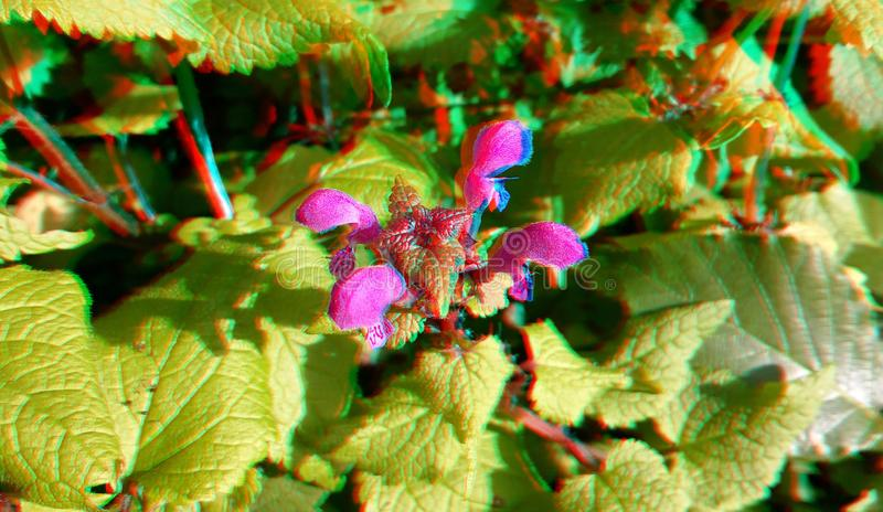 3D, anaglyph. Lamium amplexicaule, commonly known as henbit dead-nettle. 3D, anaglyph.Lamium amplexicaule, commonly known as henbit dead-nettle, common henbit stock images