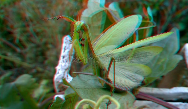 3D, anaglyph. Praying mantis, predator insect. 3D anaglyph, macro of Praying Mantis or Mantis Religiosa in a natural habitat. It looking at the camera. Predator royalty free stock images