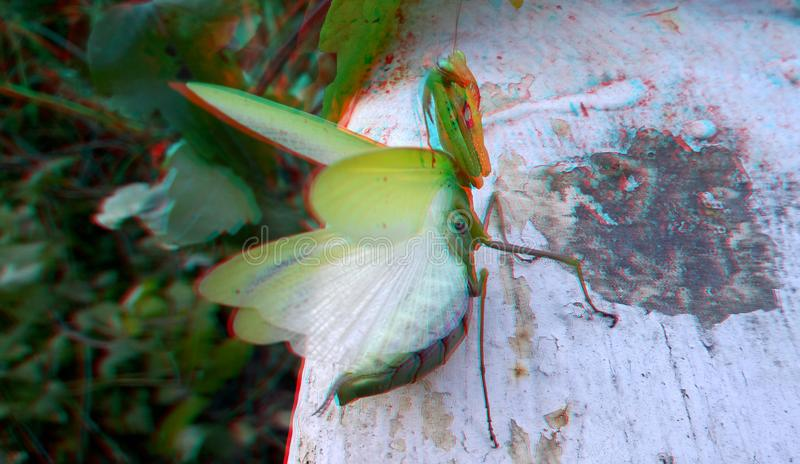 3D, anaglyph. Praying mantis, predator insect. 3D anaglyph, macro of Praying Mantis or Mantis Religiosa in a natural habitat. It looking at the camera. Predator stock image
